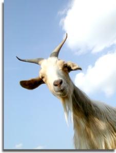 goat6.jpg