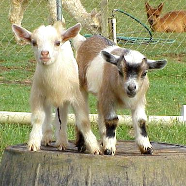 nigerian-dwarf-goat-juliesjungle-2795-20090409-331.jpg
